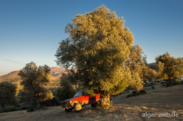 Sonnenuntergang mit Pickup und Olivenbaum