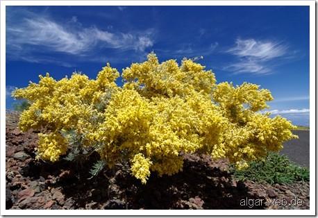 Blühender Ginster auf dem Roque de los Muchachos, La Palma, Kanarische Inseln