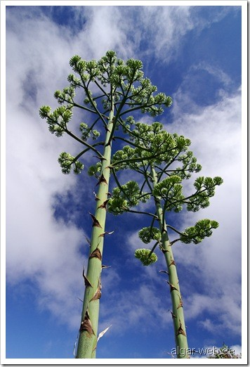 La Palma: Blütenstände von Agaven