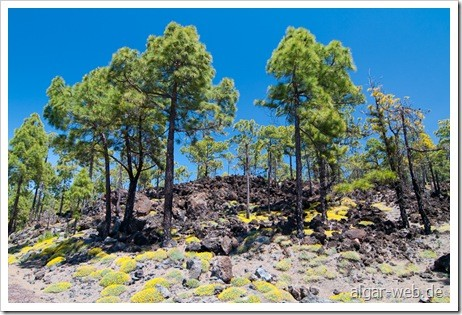 Kiefernwald mit Blumenmeer und Lava auf dem Weg zum Teide; Teneriffa Ende März 2010