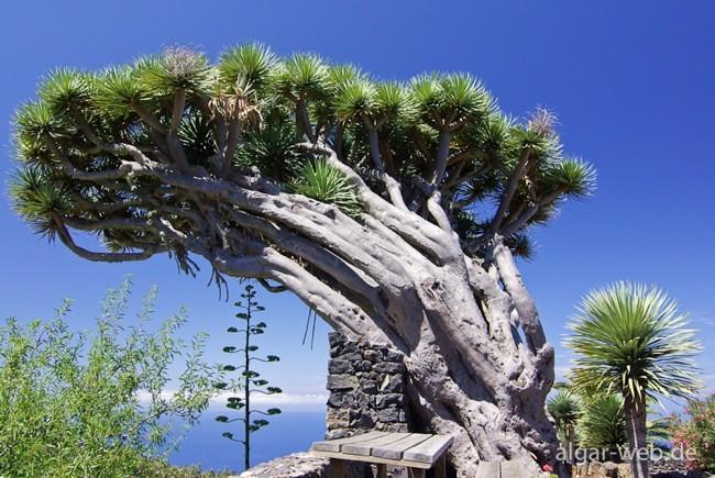 Drachenbaum la palma 0817