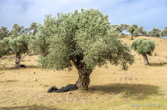 Olivenbaeume kreta 3240